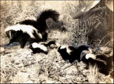 Mother skunk