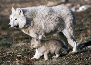 Wolf mom and babies