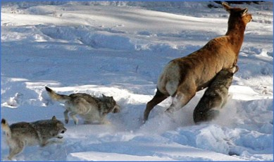 wolves after caribou
